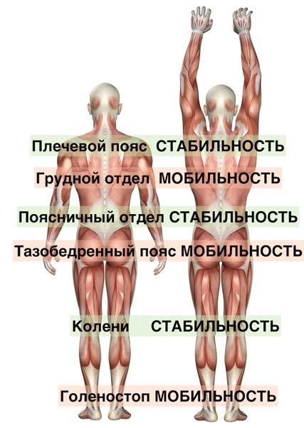 3D medical figure showing scapula upward and downward rotation.jpg