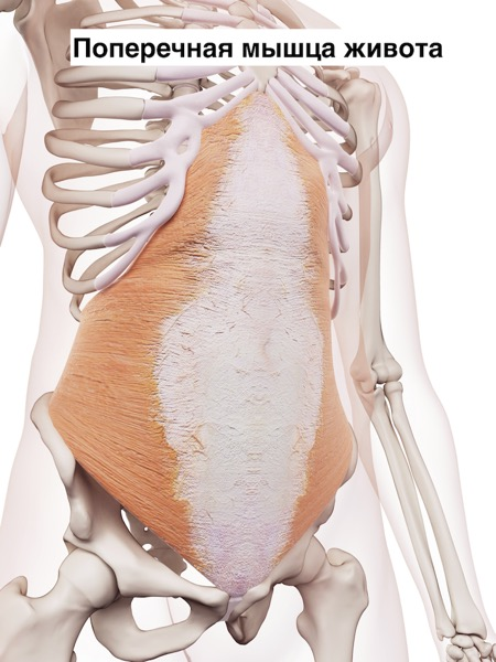 medically accurate muscle illustration of the transversus abdominis